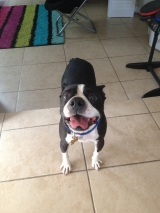 cody the boston terrier