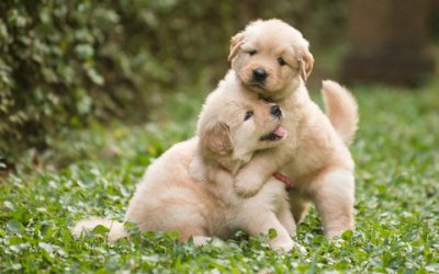 Let's Get Two Puppies: The Curse of Littermate Syndrome