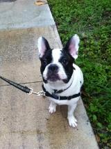 Wilson the French Bulldog