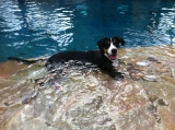 Barca swissy in the pool