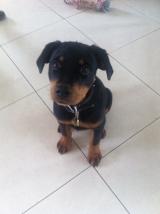 rocco rottie puppy