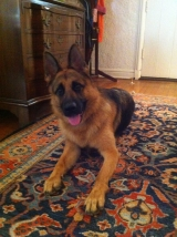 Domi the German Shepherd
