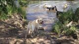 Leila, Yellow Labrador Miami Florida Dog Training