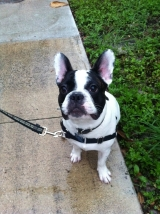 Wilson the French Bulldog