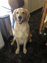 Max the Golden Retreiver
