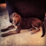 dylan the bloodhound
