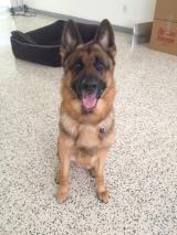 King the German Shepherd Dog