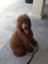 Jagger the Red Standard Poodle