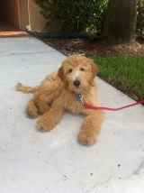 Henry Labradoodle
